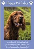 "Irish Setter-Happy Birthday - ""I'm Adopted"" Theme"